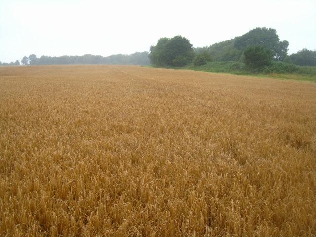 Wheat field - East Oakley