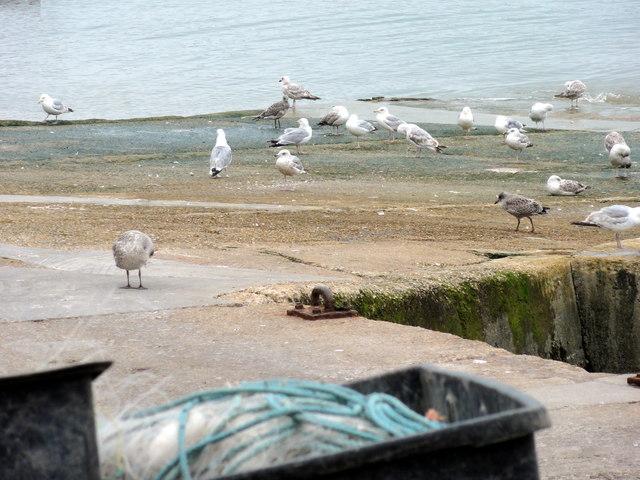Folkestone, Outer Harbour, Gulls
