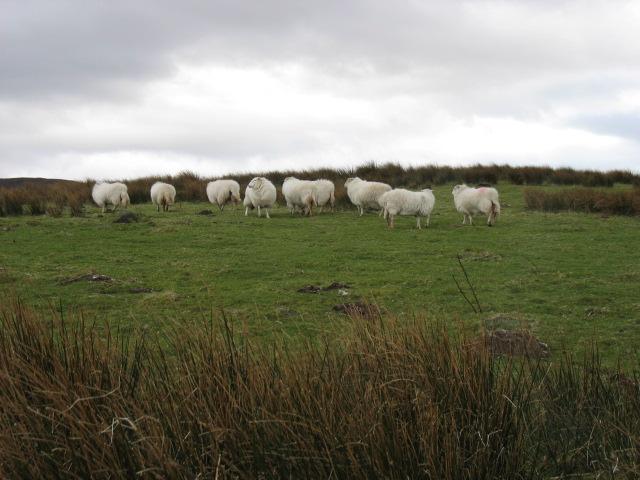 Sheep near Pont Blaen-Eidda