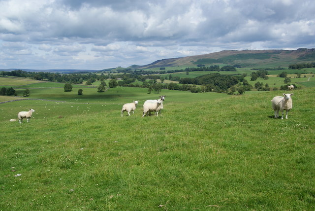 Sheep on Mickleber Hill
