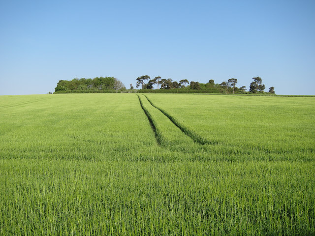 Barley field by Harcamlow Way