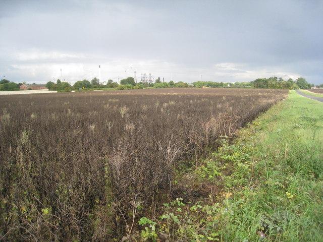 Bean field by Faulding Lane
