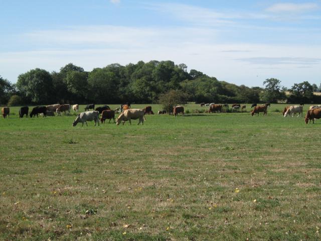 Cattle grazing near Patrick Bridge