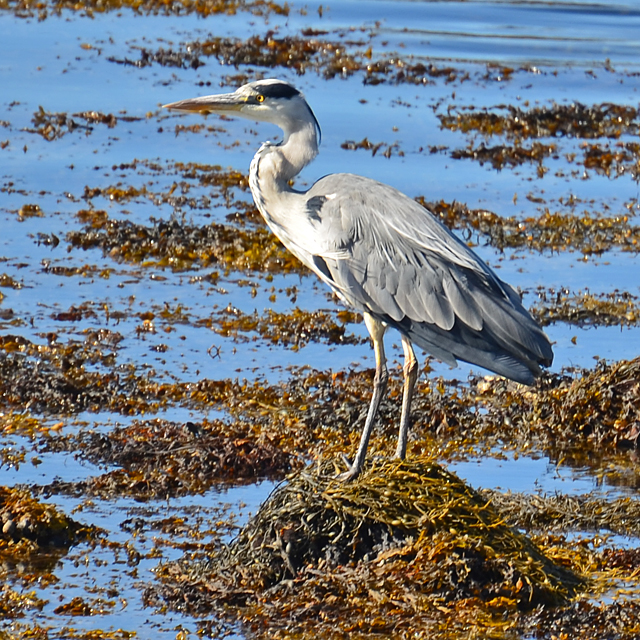 Heron on Loch Dunvegan