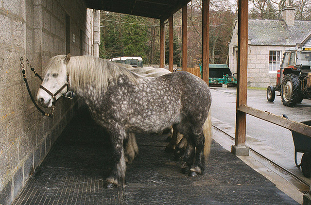 A row of ponies at Balmoral Castle