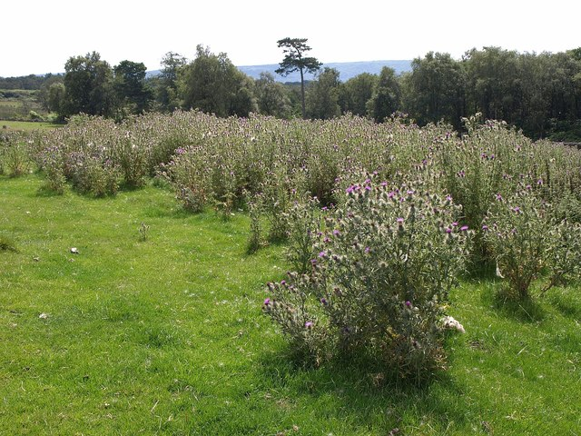 Thistles by Greystone Plantation