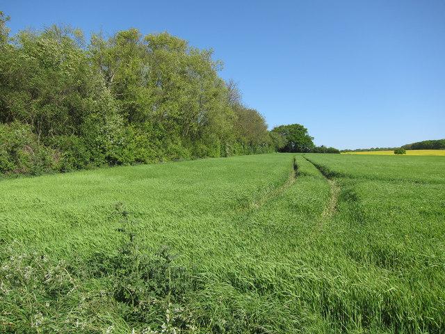 Barley field by Harcamlow Way