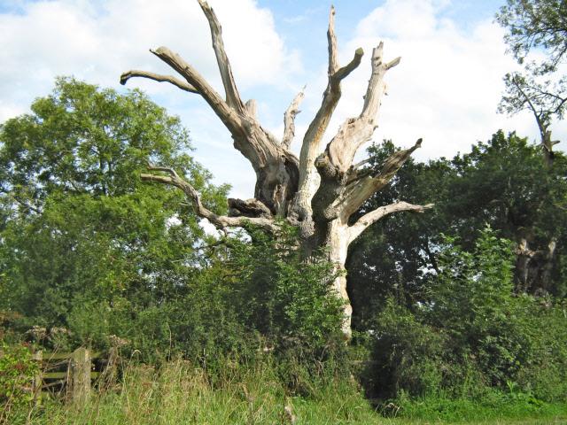 Old oak tree (Gog)