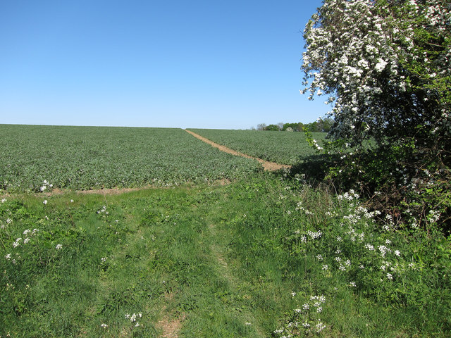 Footpath through a pea field