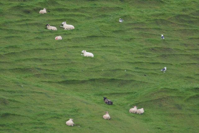 Sheep on a steep slope at Norwick