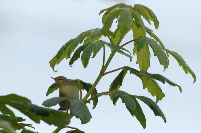 Willow Warbler (Phylloscopus trochilus), Norwick