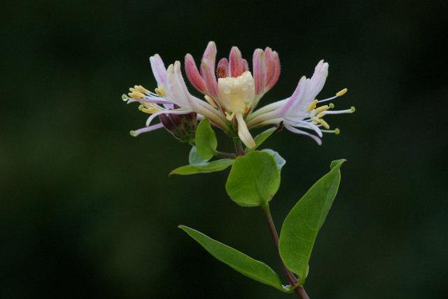 Honeysuckle (Lonicera periclymenum), Norwick