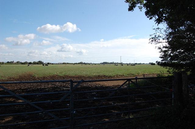 Grazing Cattle near Honeychild Manor