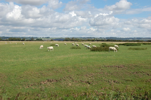 Sheep in Field near Newchurch