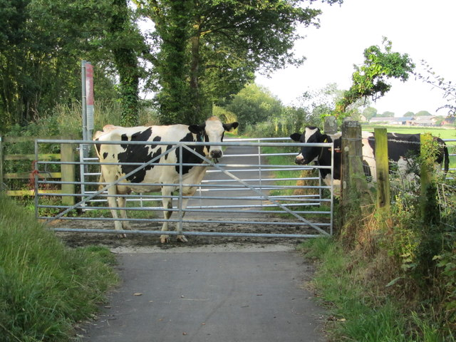 Cows crossing the Cycle Path