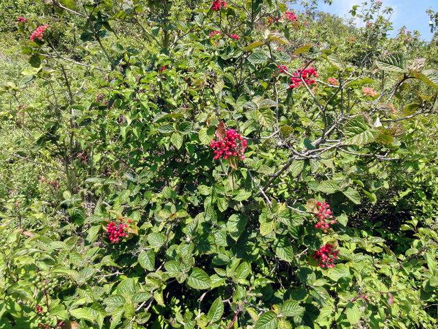 Folkestone Warren, Common Whitebeam (Sorbus aria)