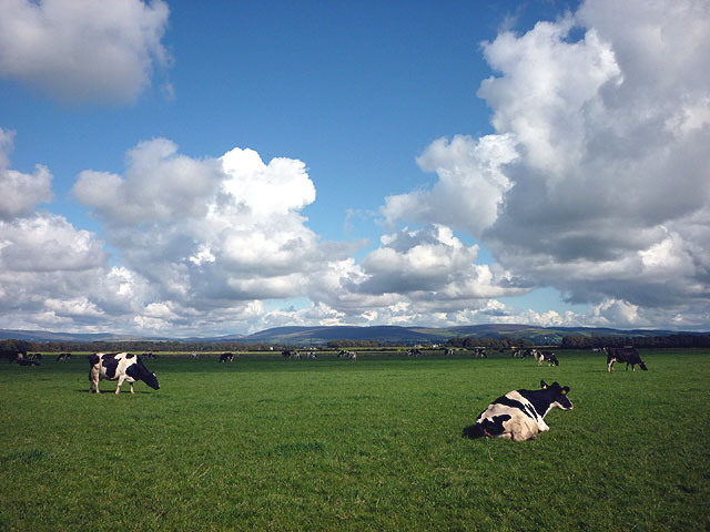 Dairy cows near Sweetings