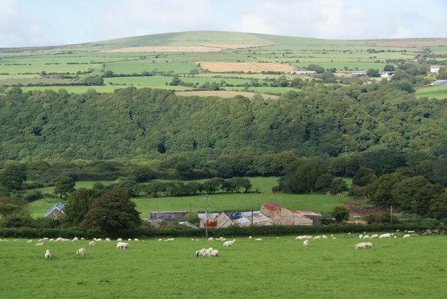 Sheep grazing above Caer-wen