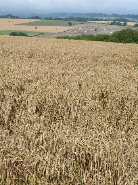 Wheat, Urchfont Hill
