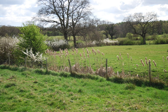 Bulrushes by the 1066 Country Walk
