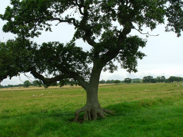 Mature tree on old hedge/boundary near Berryhill by Morpeth