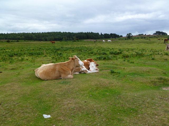 Ogdens, cattle