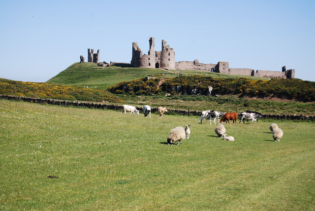 Cattle, sheep and Dunstanburgh Castle