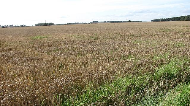 Wheat field, Littlemill