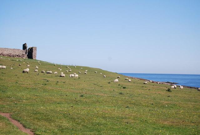 Sheep grazing near Dunstanburgh Castle
