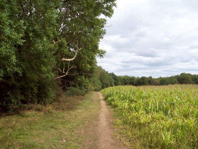 Field of Maize near King's Wood