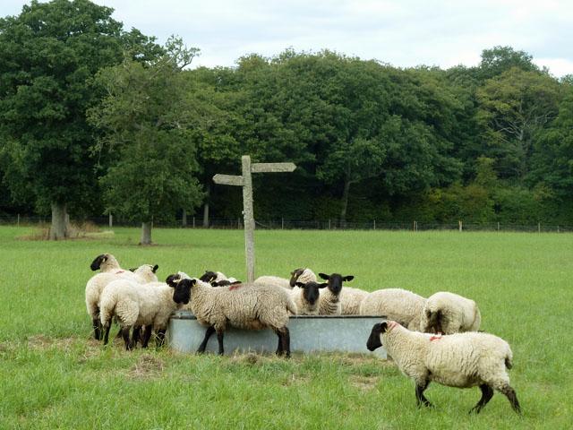 Sheep at the water trough