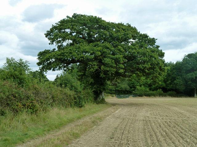 Shapely hedgerow oak