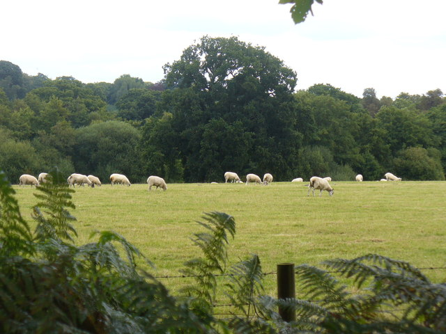 Sheep Grazing by Queen's Wood