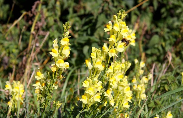 Common toadflax by the road
