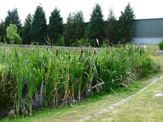 Bulrushes lining the duck pond