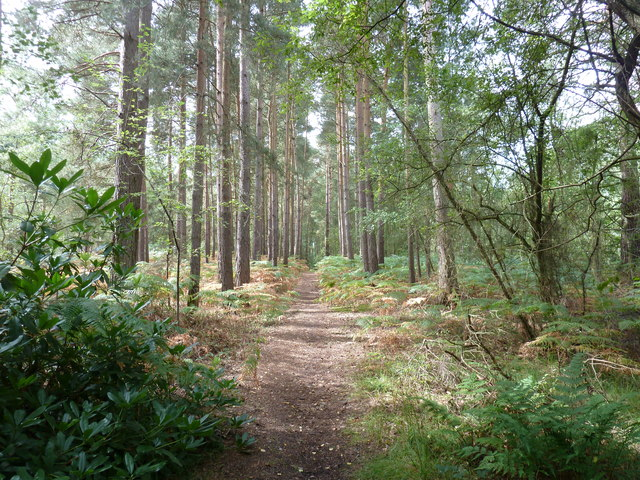 Conifers bordering bridleway near Mitchell's Common Sandpit
