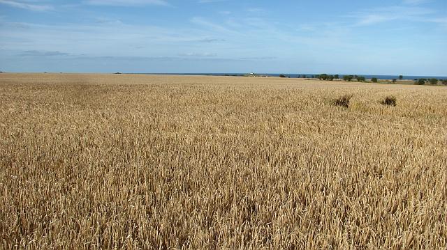Barley field, North Farm