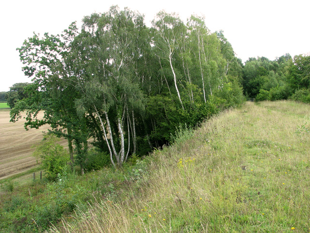 Silver birches growing on railway embankment, Narborough