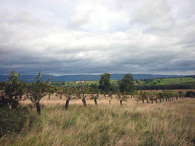Beech Tree Farm apple orchard, Reagill