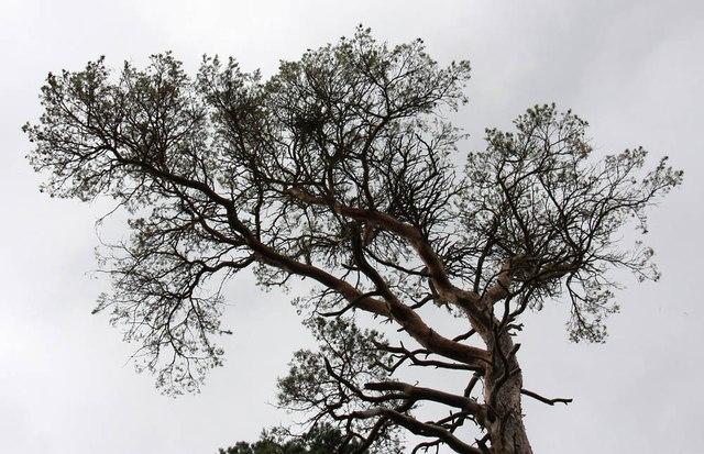 Sheringham Park - Tree