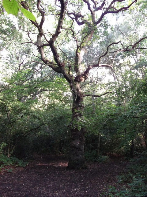 Tree in Roundabout Wood