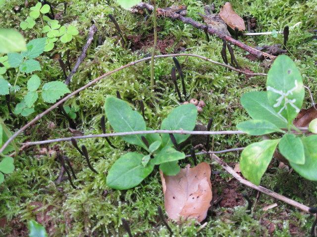 Earth tongues in Pressmennan Wood