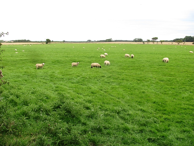Grazing sheep, Elford