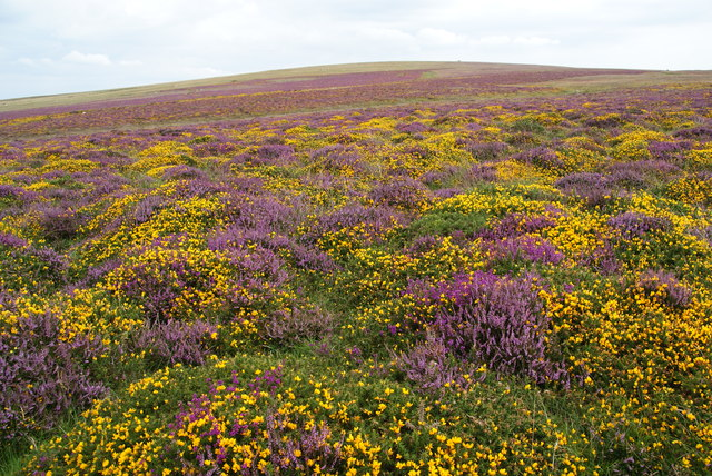 Heather and gorse on Carningli Common