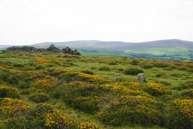 Gorse by Carn Edward