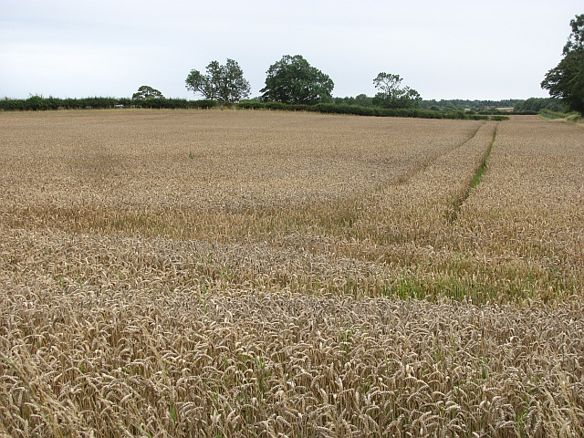 Wheat, Fisher Hill