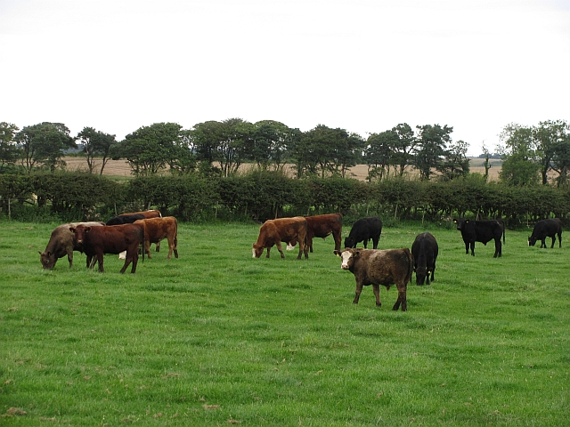 Cattle, Ratchwood