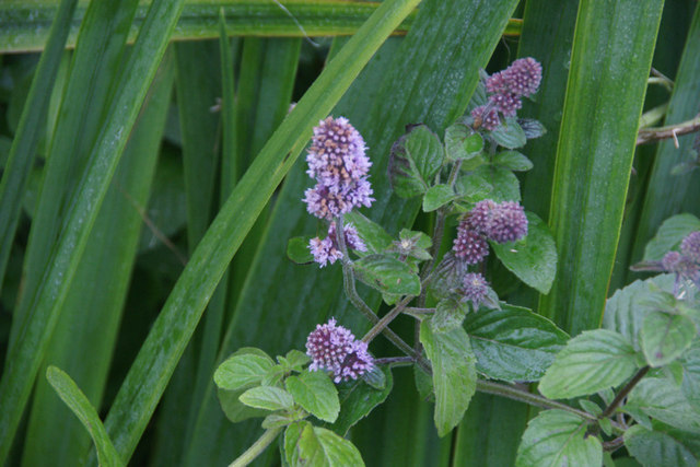 Water Mint (Mentha aquatica), Sandwick