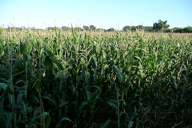 Maize at Comp Farm