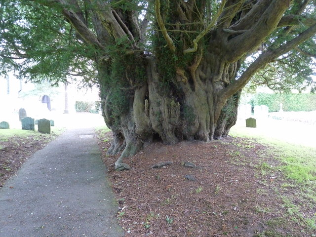 Ancient Yew tree in St James churchyard Stedham